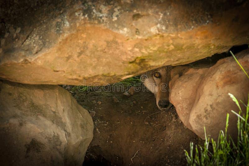 灰狼& x28; 犬属lupus& x29;同辈在岩石之间 免版税库存图片
