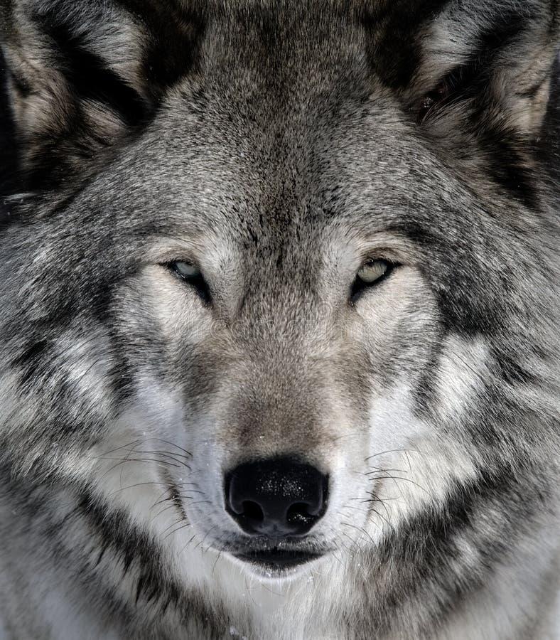 灰狼 库存图片