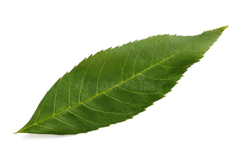 灰绿色叶子 免版税图库摄影