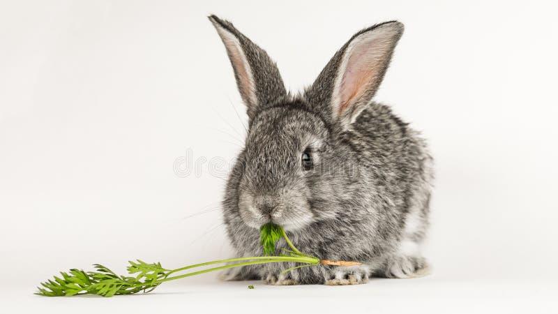 灰色一点兔子咬住在白色背景的一棵红萝卜 免版税库存图片