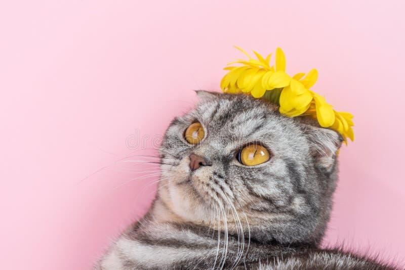 灰色与一朵黄色花的猫品种苏格兰折叠特写镜头 免版税库存图片