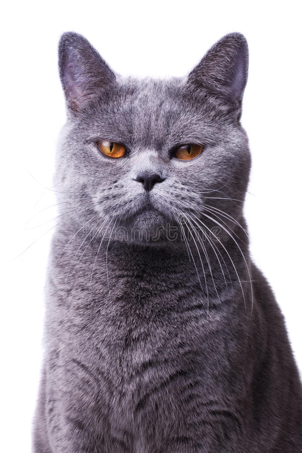 灰色与明亮的黄色眼睛的shorthair英国猫 免版税库存图片
