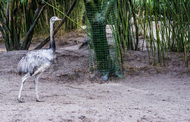 灰色丽亚走在沙子的,从美国的大不能飞的鸟,在被威胁的动物硬币附近 库存图片