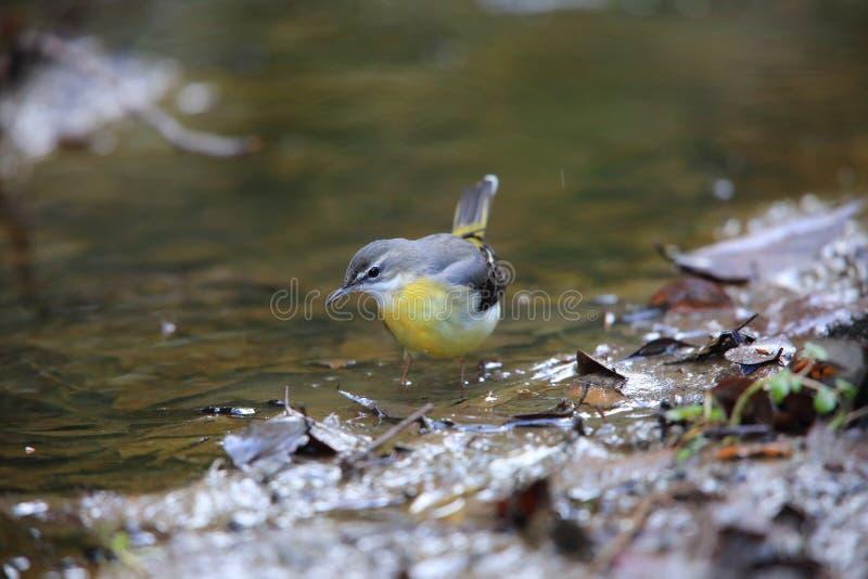 灰色令科之鸟在日本 免版税库存照片