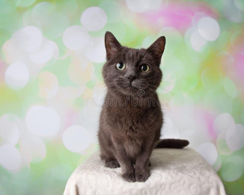 灰色俄国蓝色品种猫坐的画象 免版税库存图片