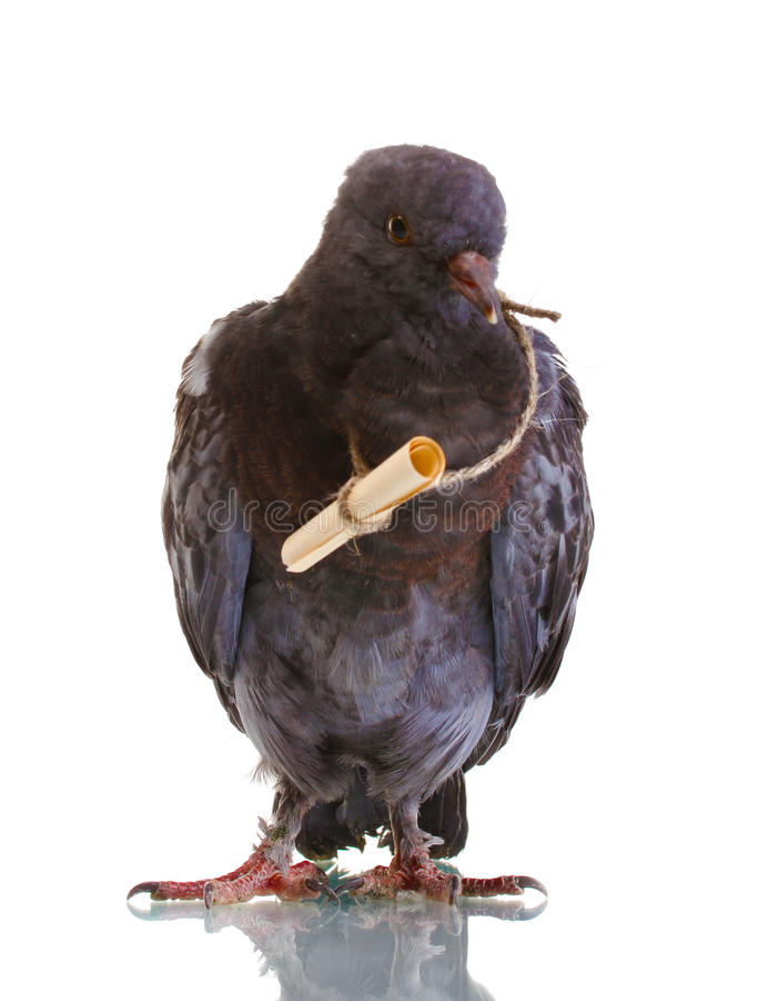 灰色信使一鸽子 免版税库存图片