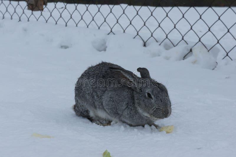 灰色兔子坐雪 养殖在农场的兔子 免版税库存照片