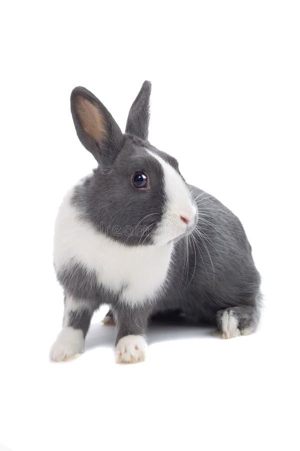 灰色兔子 免版税库存图片