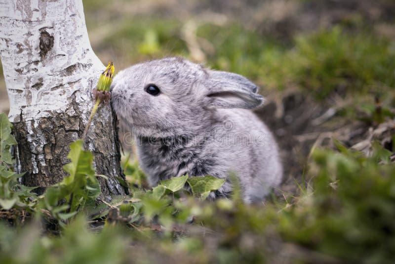 灰色兔宝宝在庭院里 免版税库存图片