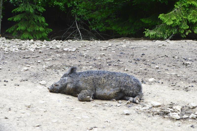 灰色公猪 库存图片
