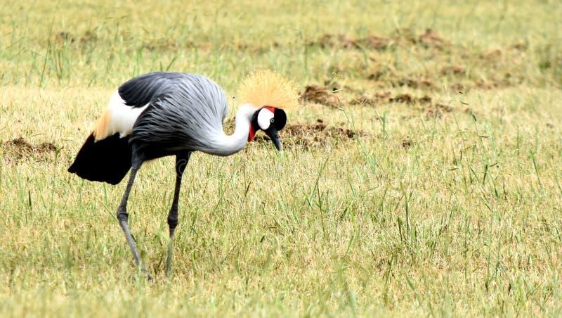 灰色加冠了起重机,美丽的全身羽毛,俄克拉何马市动物园 免版税库存照片