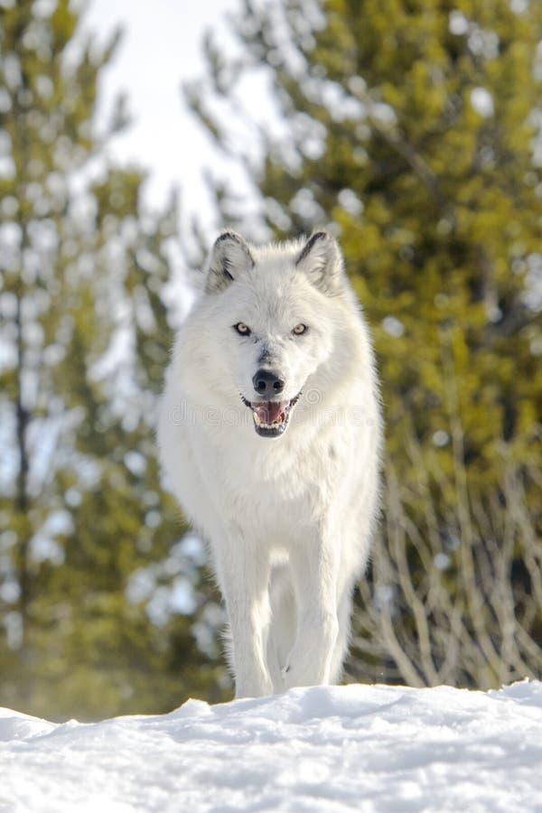 灰色北美灰狼在冬天,低角度 库存图片