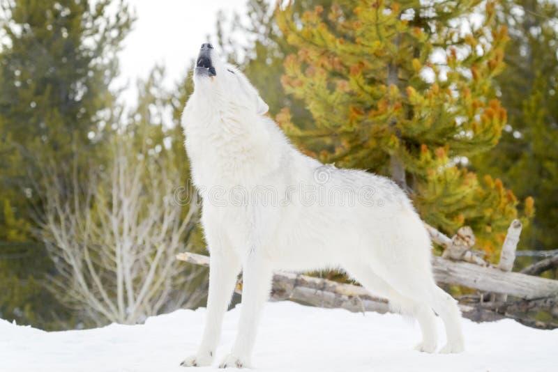 灰色北美灰狼在冬天,嗥叫,低角度 免版税库存照片