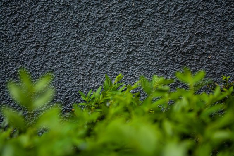 灰色单音背景或纹理与坎坷 蓝色树荫 在墙壁上的膏药 灌木鲜绿色的叶子  图库摄影