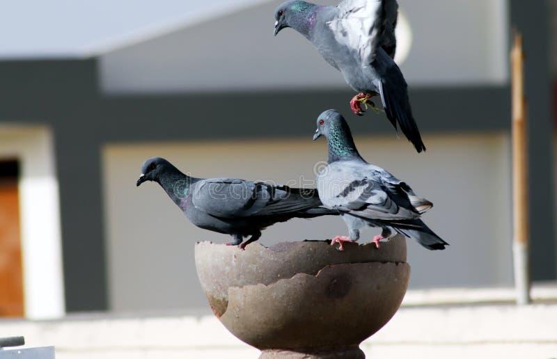 灰色印度鸽子小组是在罐的饮用水 免版税库存图片