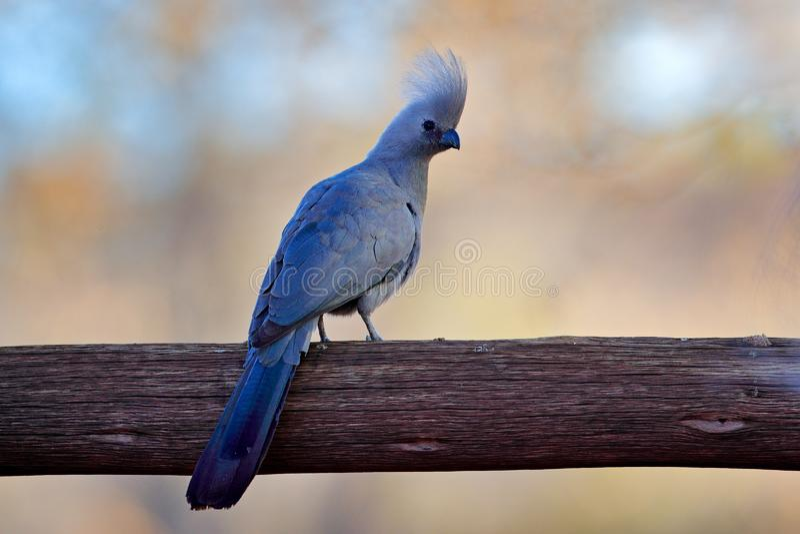 灰色去鸟,Corythaixoides concolor,在绿色植被的灰色lourie细节画象 蕉鹃在自然栖所, 免版税库存照片