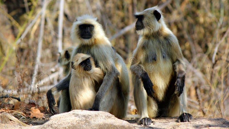 灰色叶猴 库存图片