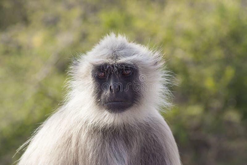 灰色叶猴 免版税库存图片