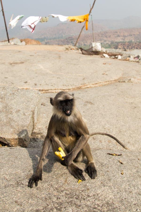 Download 灰色叶猴和香蕉 库存照片. 图片 包括有 敌意, 头发, 颜色, 气候, 茴香, 衣物, 环境, 本质, 森林 - 62534214