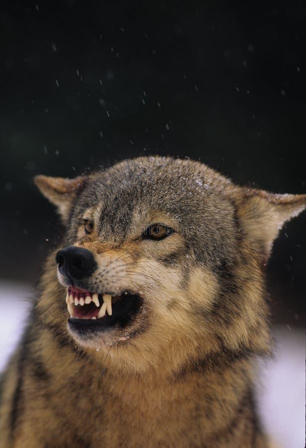 灰色咆哮狼 免版税库存照片