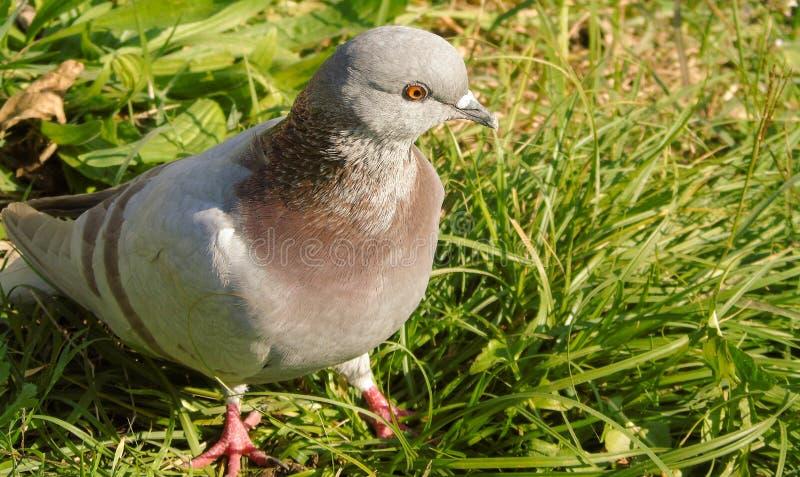 灰色和棕色鸽子特写镜头与橙色眼睛的,在草甸背景,鸟在公园 图库摄影