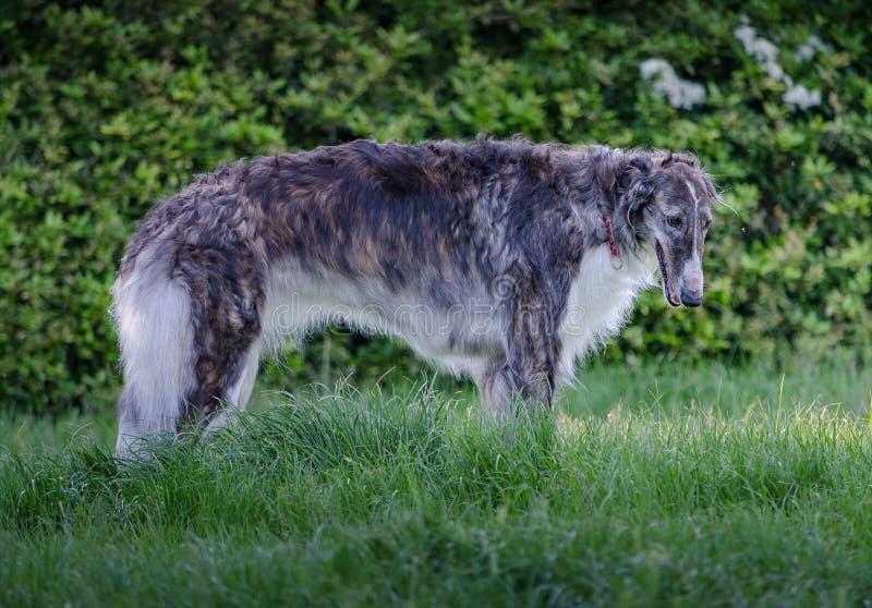 灰色和白色俄国猎狼犬II 库存图片