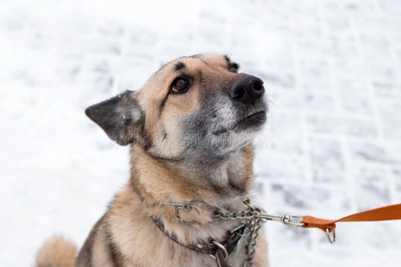 灰色和白色短发杂种狗画象与衣领和皮带的在雪背景  图库摄影