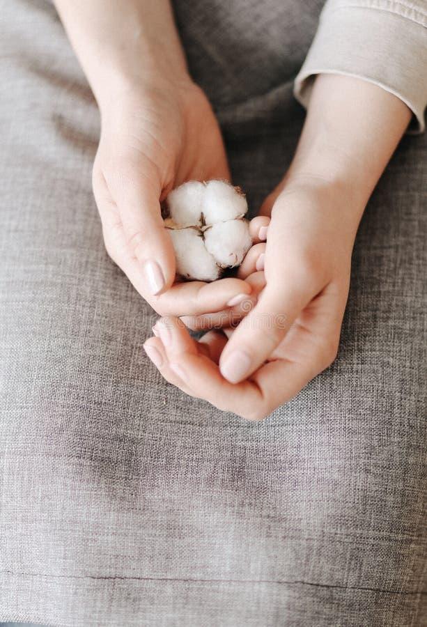 灰色围裙的妇女握棉花花手 库存照片