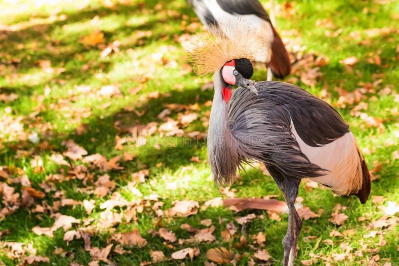 灰色在动物园里加冠了起重机或Balearica pavonina 库存照片