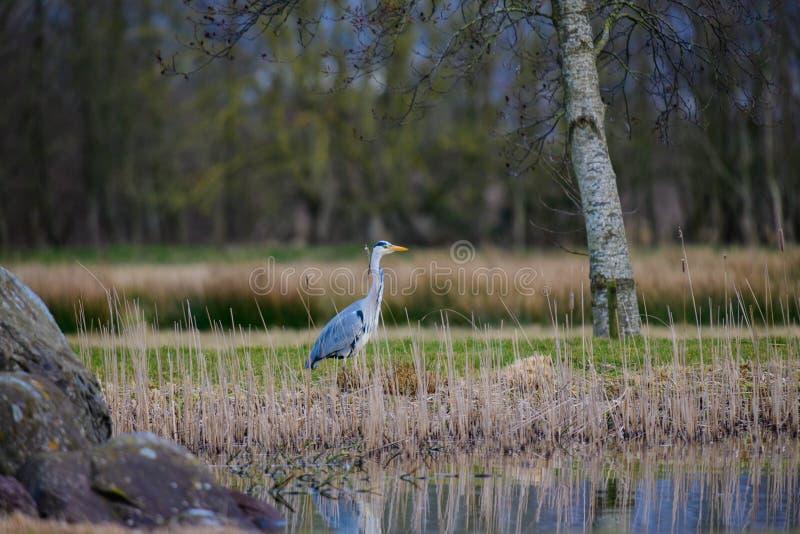 灰色在池塘旁边的苍鹭偷偷靠近的鱼 库存照片