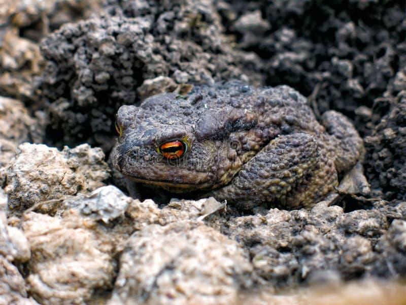 灰色地球蟾蜍在春天醒了 库存图片