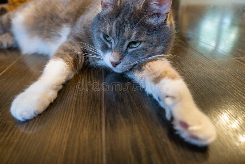 灰色家猫放置轻松在木地板户内 免版税库存照片