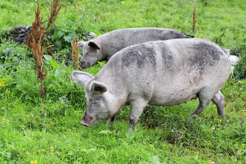 灰色家养的猪和小牛 免版税图库摄影