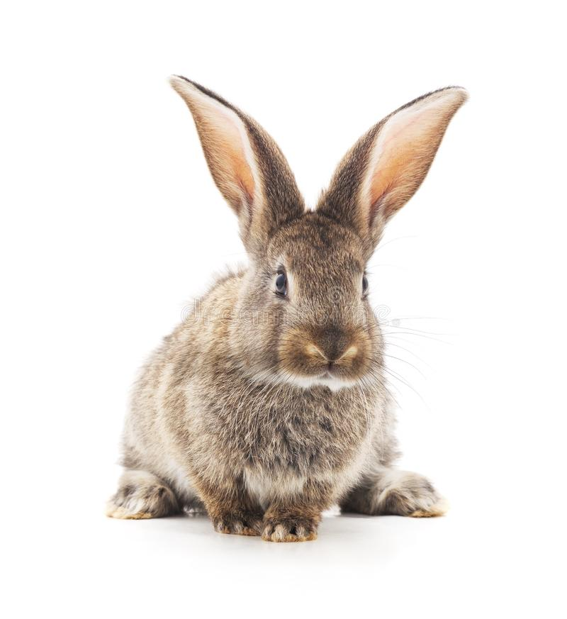 灰色小兔子 图库摄影