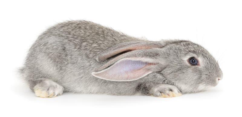 灰色小兔 库存照片
