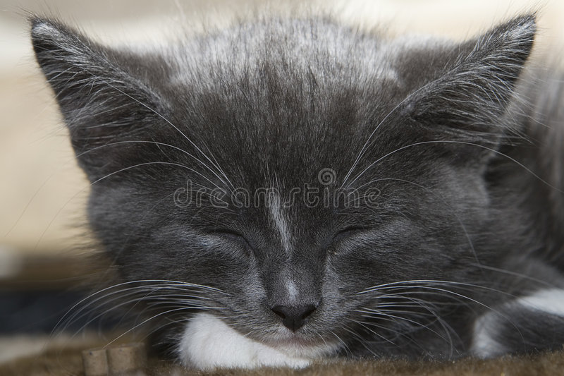 灰色小猫休眠 图库摄影