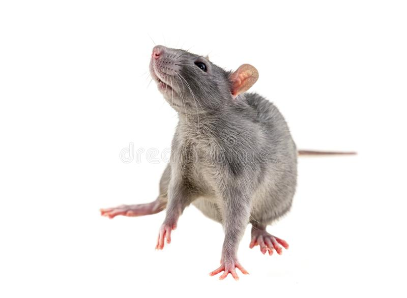 灰色幼小在一场白色背景恐惧恐惧啮齿目动物标志饥饿灾害战争的鼠小倾斜 免版税库存照片