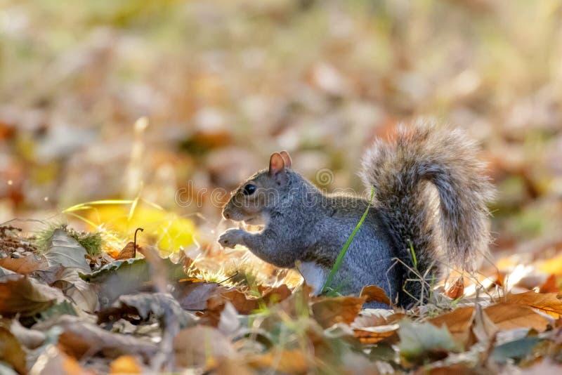 灰色或灰色灰鼠中型松鼠carolinensis搜寻 免版税库存图片
