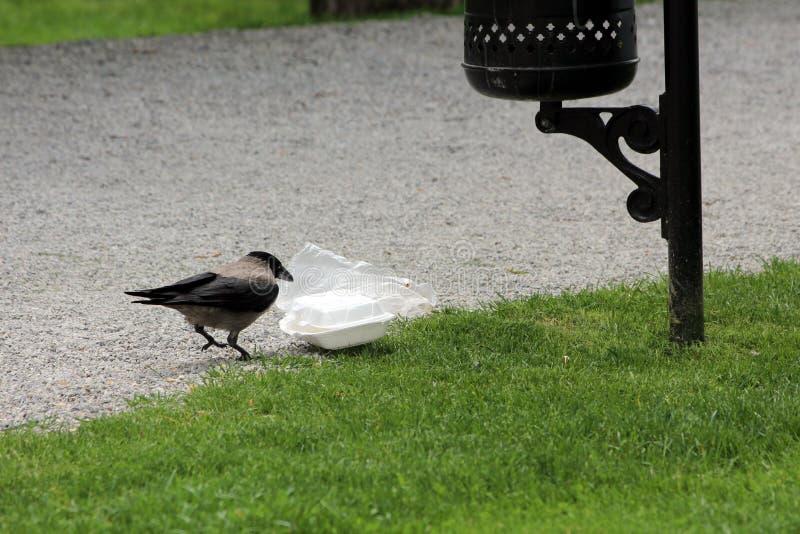 灰色戴头巾乌鸦或乌鸦座的cornix或者的有冠乌鸦和寻找在塑胶容器的黑小鸟食物采取从公开垃圾箱 库存图片