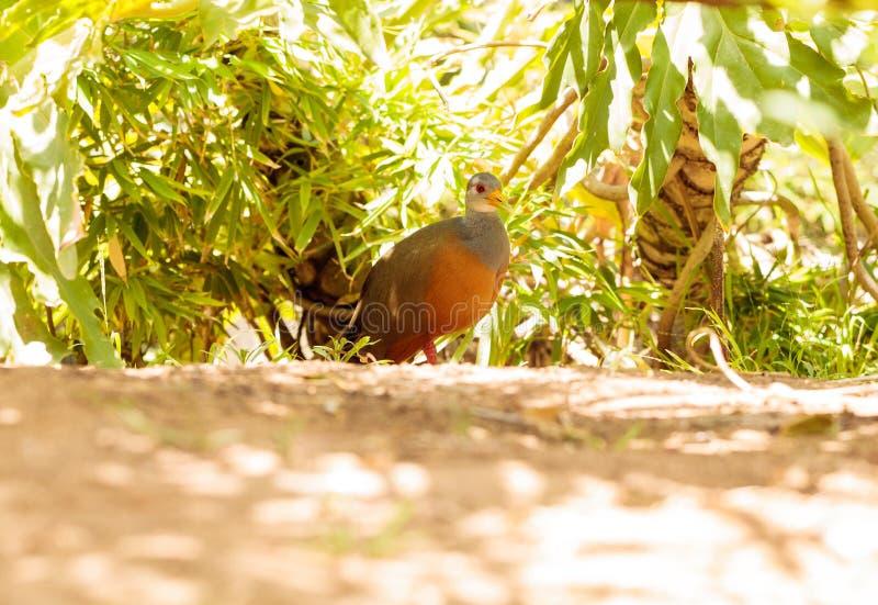灰色收缩的木路轨鸟Aramides cajanea 库存照片