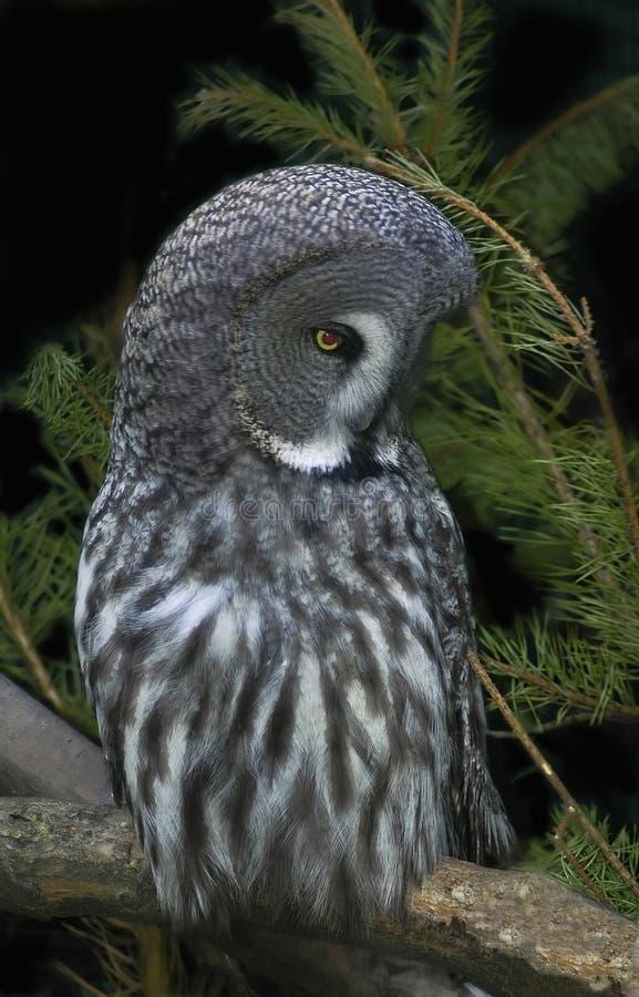 灰色极大的狩猎猫头鹰 免版税库存图片
