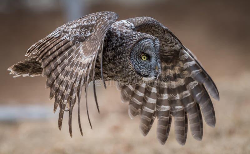 灰色极大的猫头鹰 免版税图库摄影