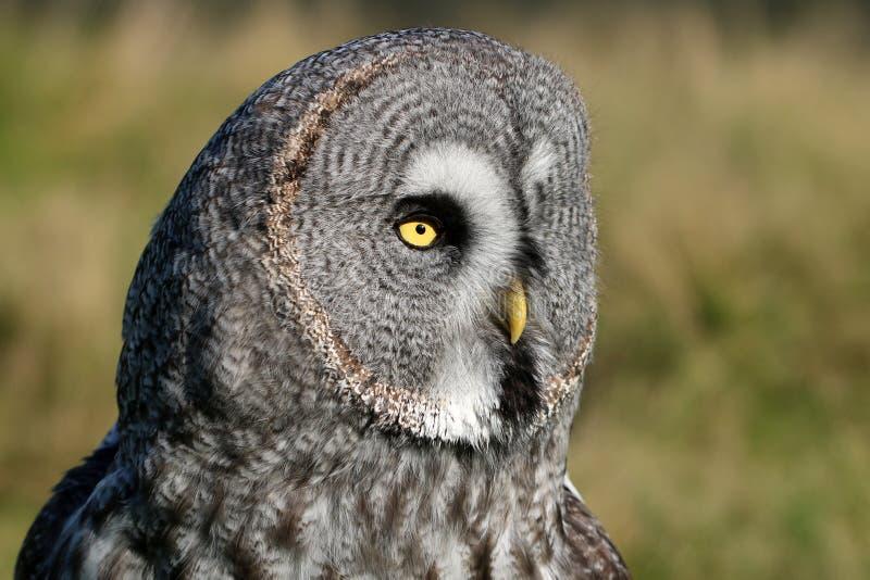 灰色极大的猫头鹰纵向 库存照片