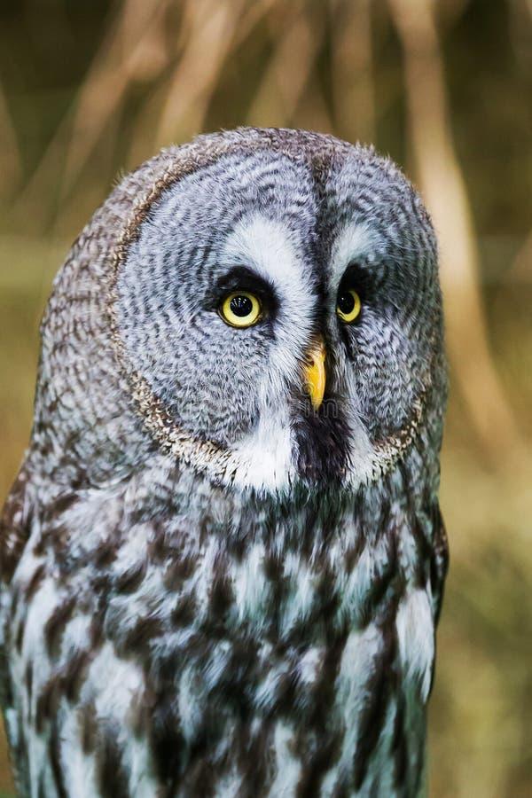 灰色极大的猫头鹰纵向 库存图片