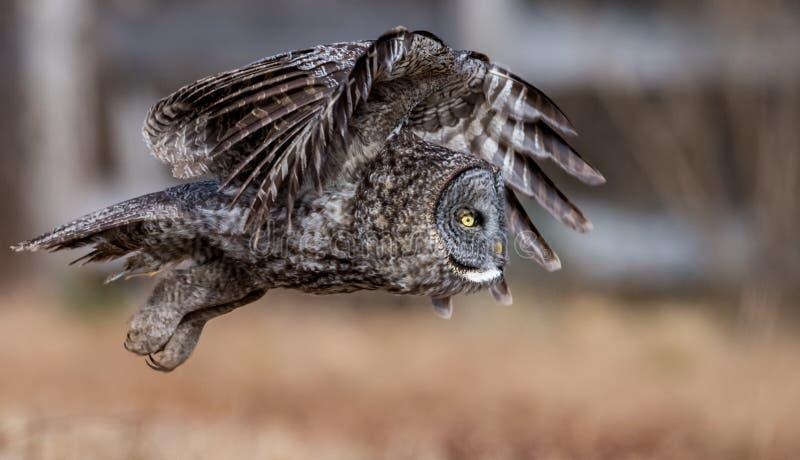 灰色极大的猫头鹰 免版税库存照片