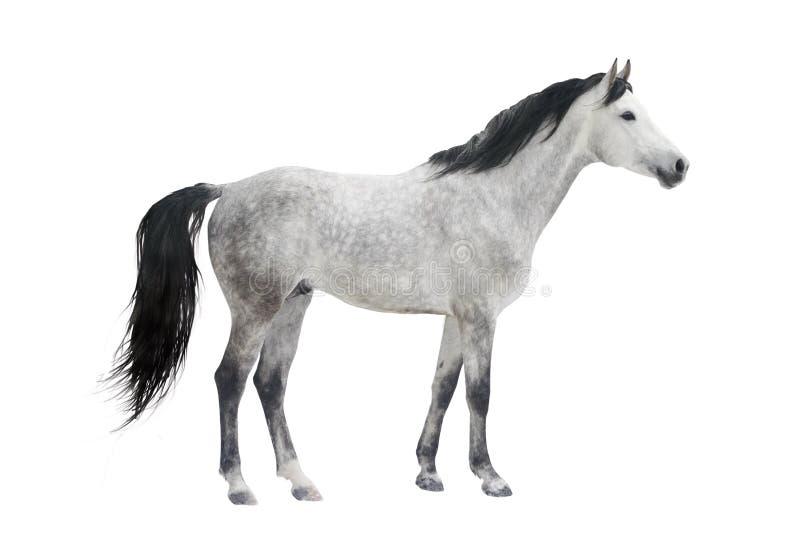 灰色查出的公马 免版税库存图片