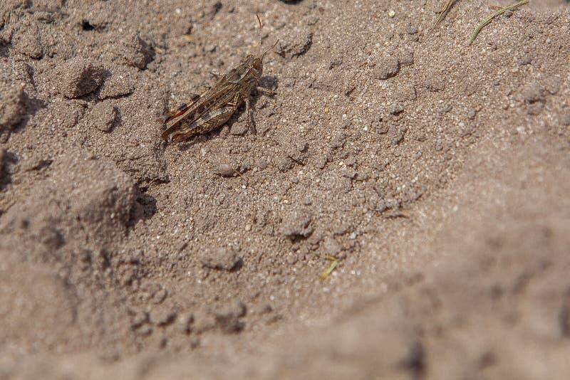 灰色森林地蚂蚱特写镜头画象在地面的 这只蚂蚱是存在大多数欧洲,东部古北区的 库存照片