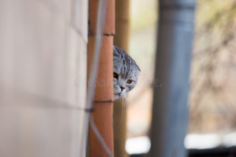灰色毛茸的猫偷看在附近 免版税库存照片