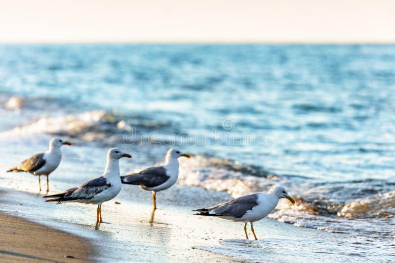 灰色海鸥群在沙滩海岸线的黑海的沿岸航行飞溅波浪饮用的海水  与海的风景海景 免版税图库摄影