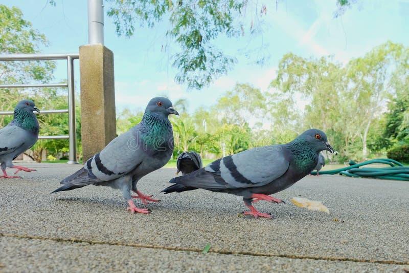 灰色潜水或鸽子Columba利维亚是站立和吃在走道的面包在有蓝天和云彩的,鸟后面pubpic公园 库存图片